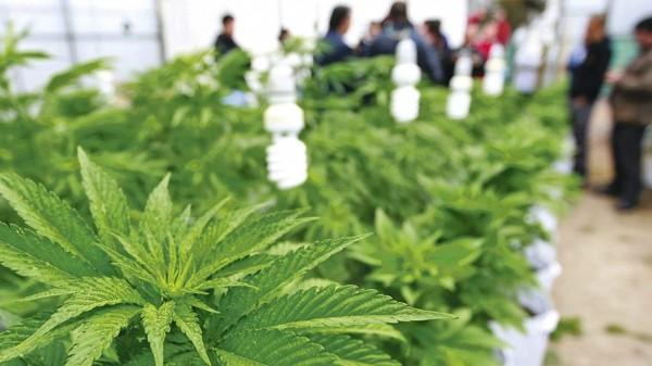 Ordenan a Salud que emita reglamento para uso medicinal de cannabis