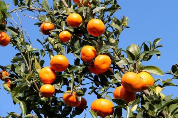 Detectó Sedarpa irregularidades en padrón de citricultores